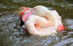 Vitt vila för flamingo Arkivfoton