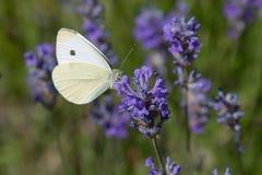 Vitt vila för kål på en purpurfärgad blomma royaltyfri bild