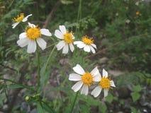 vitt wild för blomma arkivfoton