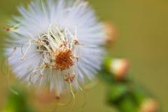 vitt wild för blomma Royaltyfria Foton