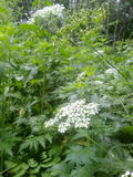 vitt wild för blomma Arkivbilder