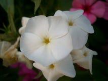 vitt wild för blomma Fotografering för Bildbyråer