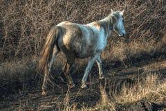 vitt wild för häst Royaltyfri Foto