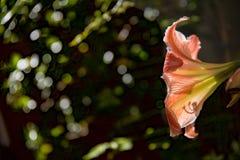 Vittatum di Hipeastrum di amarillis di Florwer immagine stock libera da diritti