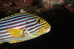 vittatus sweetlips plectorhinchus рыб латинское названное востоковедное Стоковые Фото