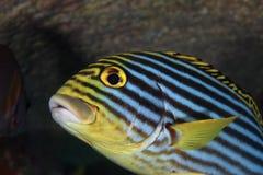 vittatus sweetlips plectorhinchus рыб латинское названное востоковедное Стоковые Фотографии RF