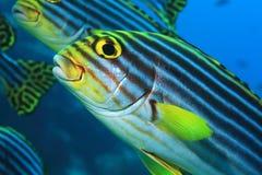 vittatus sweetlips plectorhinchus рыб латинское названное востоковедное Стоковая Фотография RF