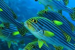 vittatus sweetlips plectorhinchus рыб латинское названное востоковедное Стоковые Изображения RF