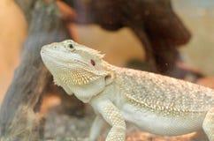 Vitticeps barbudos del dragón o del pogona Foto de archivo libre de regalías