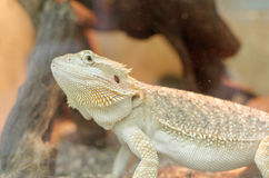 Vitticeps barbus de dragon ou de pogona Photo libre de droits