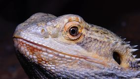 Vitticeps de Pogona del lagarto de Agamid, el dragón barbudo almacen de metraje de vídeo