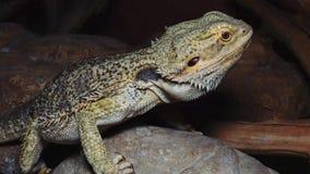Vitticeps de Pogona del lagarto de Agamid, el dragón barbudo metrajes