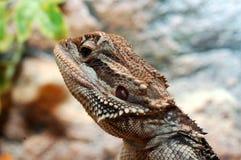 Vitticeps de Pogona, dragão farpado australiano. Imagens de Stock Royalty Free