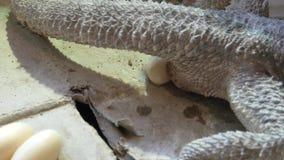 Vitticeps de Pogona que deponen los huevos almacen de video
