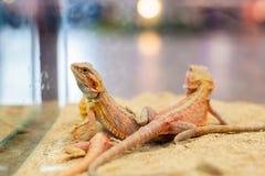 Vitticeps farpados de Dragon Pogona na areia fotos de stock royalty free
