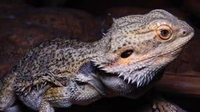 Vitticeps Pogona ящерицы Agamid, бородатый дракон сток-видео