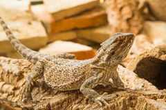 Vitticept Pogona. The Pogona Vitticept also called Dragon bearded for the presence of scales under the neck that swell when she is angry, is a reptile that is Royalty Free Stock Images