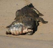 Vittorie 1 del coccodrillo Immagini Stock