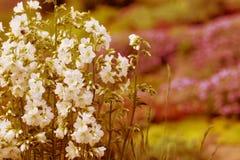 Vitträdgårdblommor Royaltyfri Bild