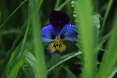 Vittroke ` s紫罗兰蝴蝶花 库存图片