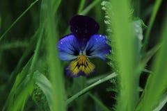 Vittroke ` s Violet Pansies Arkivbilder