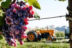 Vituculture, sol que madura las uvas Imágenes de archivo libres de regalías