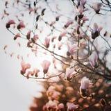 VitYulan blomma fotografering för bildbyråer