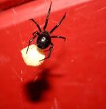 Viuda negra con los huevos Fotografía de archivo libre de regalías