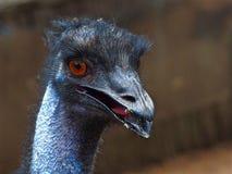 Vivacious Jaunty Emu in a Joyful High-Spirited Portrait. A Vibrant Jaunty Male Emu in closeup in a Joyful High Spirited Portrait with Amazing Amber Eyes Royalty Free Stock Photos