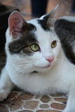 Vivaldi - die Katze Lizenzfreie Stockfotos