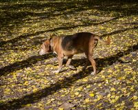 Vivaracho el perro viejo de la montaña que camina en las hojas amarillas foto de archivo