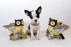 Vivat, ο βασιλιάς! - Κουτάβι Chihuahua με τα ειδώλια αγαλμάτων κουκουβαγιών Στοκ εικόνα με δικαίωμα ελεύθερης χρήσης