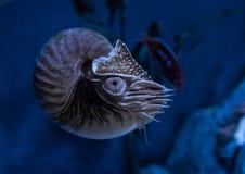Vive el cierre del pompilius del nautilus del nautilus compartimentado para arriba en un acuario foto de archivo