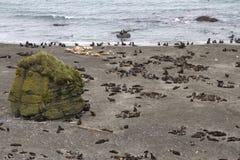 Viveiro de lobo-marinhos e de leões de mar do norte no Bering Fotografia de Stock Royalty Free