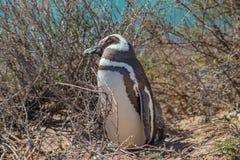 Viveiro de pinguins de Magellanic na costa de Oceano Atlântico da península Valdes, Punta Norte, Patagonia, Argentina fotografia de stock royalty free