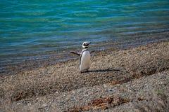 Viveiro de pinguins de Magellanic na costa de Oceano Atl?ntico da pen?nsula Valdes, Punta Norte, Patagonia, Argentina imagens de stock