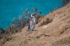 Viveiro de pinguins de Magellanic na costa de Oceano Atl?ntico da pen?nsula Valdes, Punta Norte, Patagonia, Argentina imagem de stock