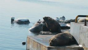 Viveiro dos leões de mar perto de Kamchatka video estoque