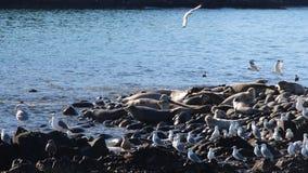 Viveiro rodeado do selo no recife rochoso pela península de Kamchatka foto de stock