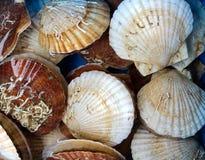 Viven las conchas de peregrino Fotos de archivo