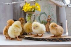 Viven los pequeños pollos mullidos en una tabla de madera Imagen de archivo