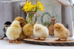 Viven los pequeños pollos mullidos en una tabla de madera Imagen de archivo libre de regalías