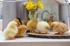 Viven los pequeños pollos mullidos en una tabla de madera Foto de archivo