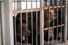 Vivent les ours derrière des grilles d'une cage Image libre de droits