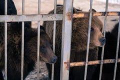 Vivent les ours derrière des grilles d'une cage Images stock
