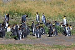 Vivere dei pinguini di re selvaggio a Parque Pinguino Rey, Patagonia, Cile Fotografia Stock Libera da Diritti