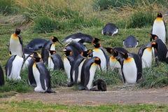 Vivere dei pinguini di re selvaggio a Parque Pinguino Rey, Patagonia, Cile Fotografie Stock Libere da Diritti