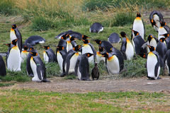 Vivere dei pinguini di re selvaggio a Parque Pinguino Rey, Patagonia, Cile Immagini Stock