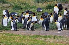 Vivere dei pinguini di re selvaggio a Parque Pinguino Rey, Patagonia, Cile Immagine Stock