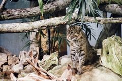 Viverrinus Prionailurus кота рыбной ловли Стоковая Фотография RF
